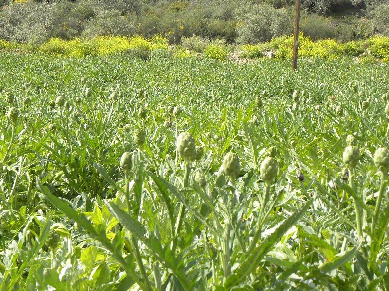 Artichoke fields image