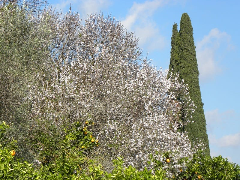 Bloomed almond tree image