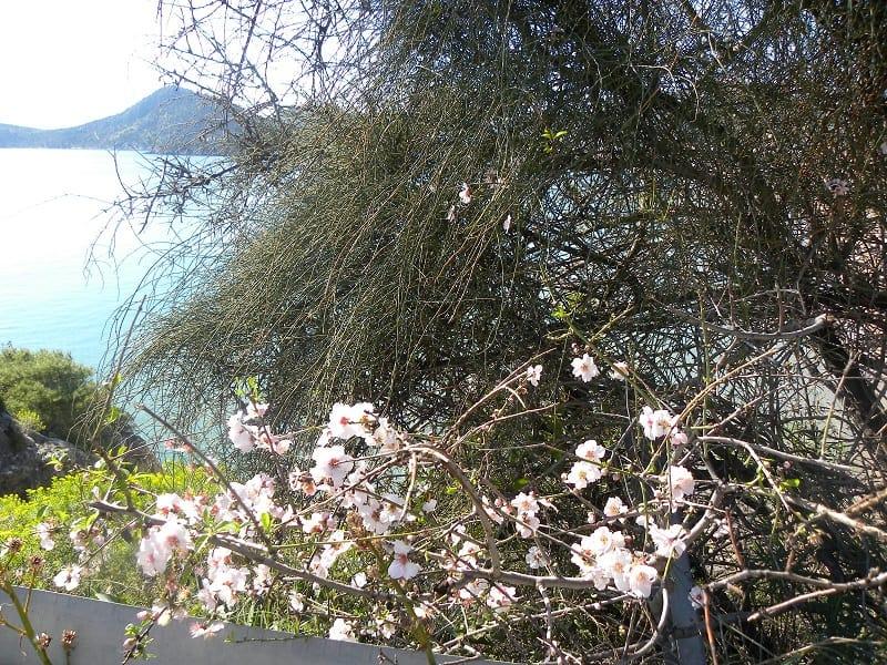 Wild Almond blossoms image