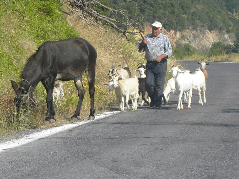 Shepherd and goats in Greece image