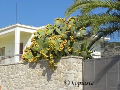 prickly pears frangosyka