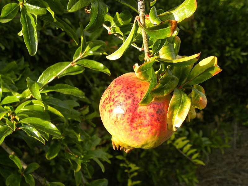 Pomegranate hanging on the tree image