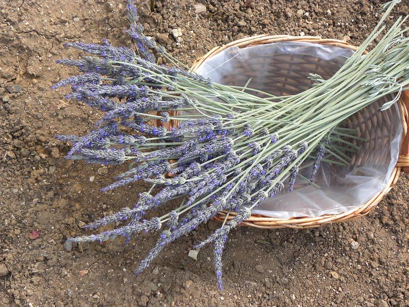 Lavender flowers image
