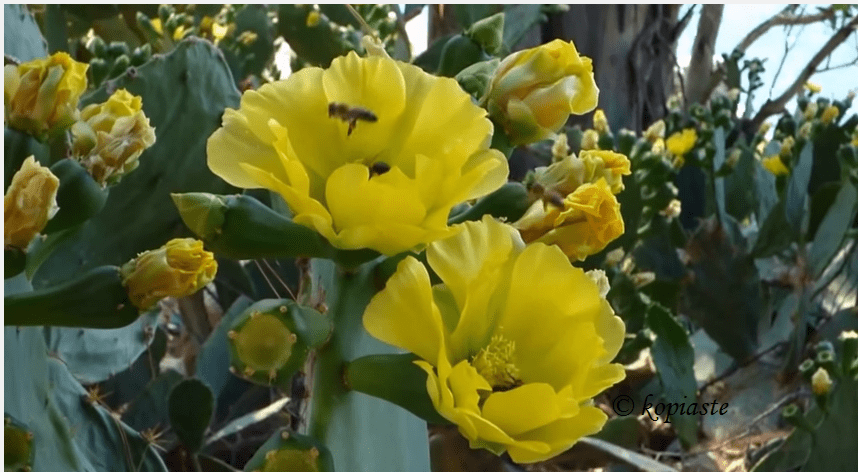 bees-on-prickly-pear-cactus-flowers