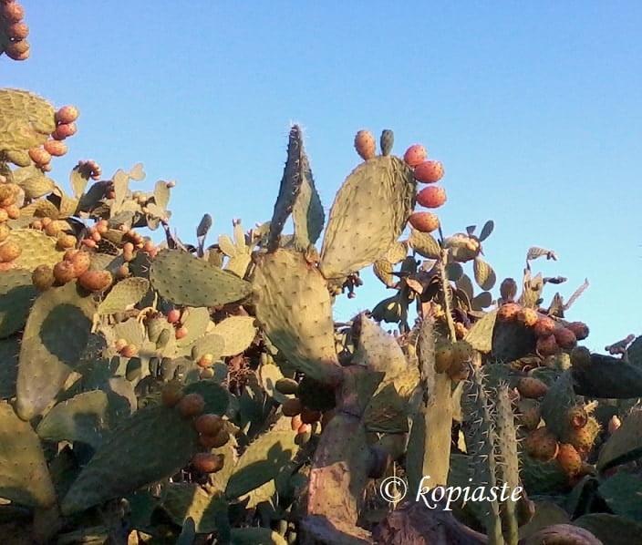 frangosyka-prickly-pears