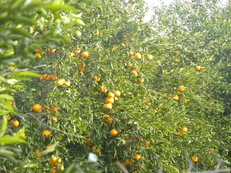 Mandarins on the tree image