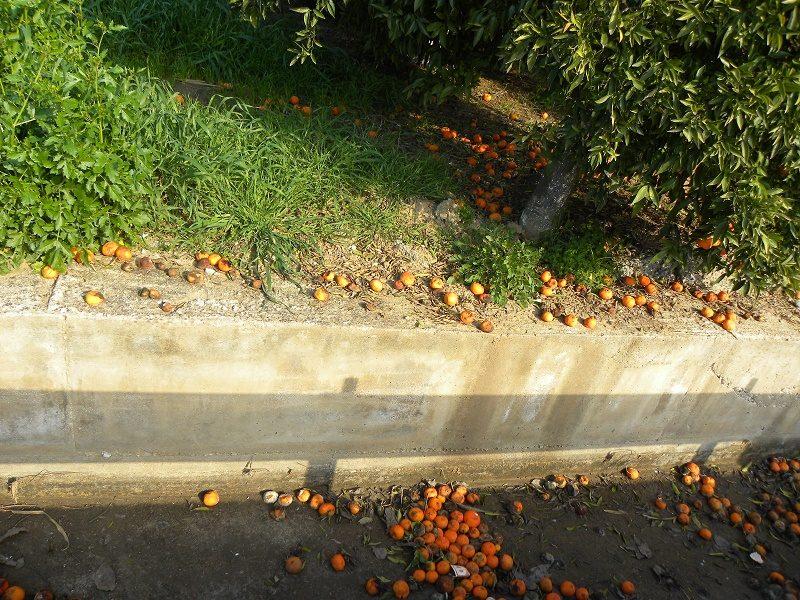 Mandarins rotting image
